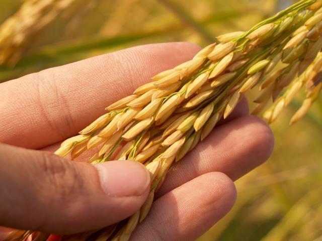 Mão segurando arroz