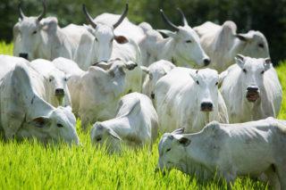 boiada gado bovino arroba do boi gordo carne bovina