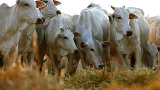 arroba do boi gordo mercado carne bovina