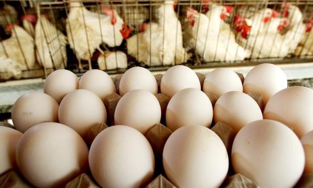 ovos de galinha confinadas em gaiolas