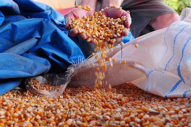 Milho: com oferta cada vez maior no mercado interno, preços seguem em queda