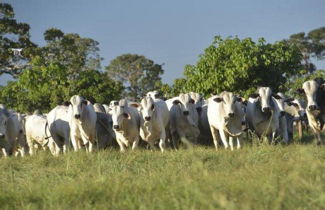 bois zebu no pasto, arroba do boi gordo, carne bovina