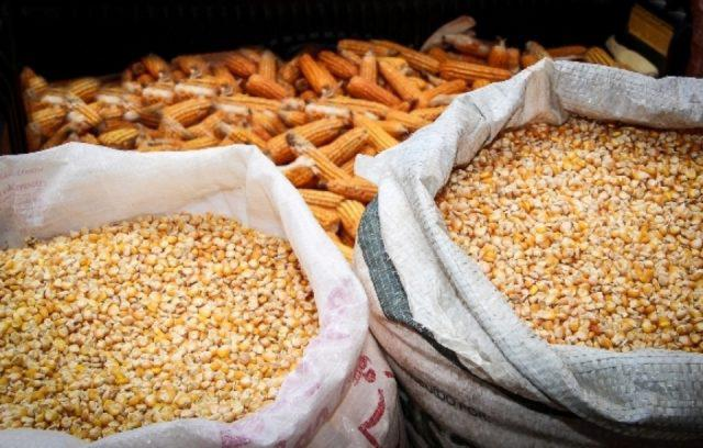 duas sacas de milho lado a lado com espigas ao fundo