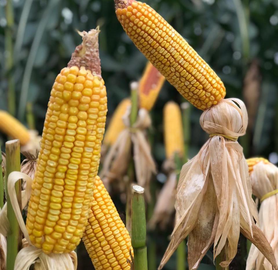 milho plantação lavoura