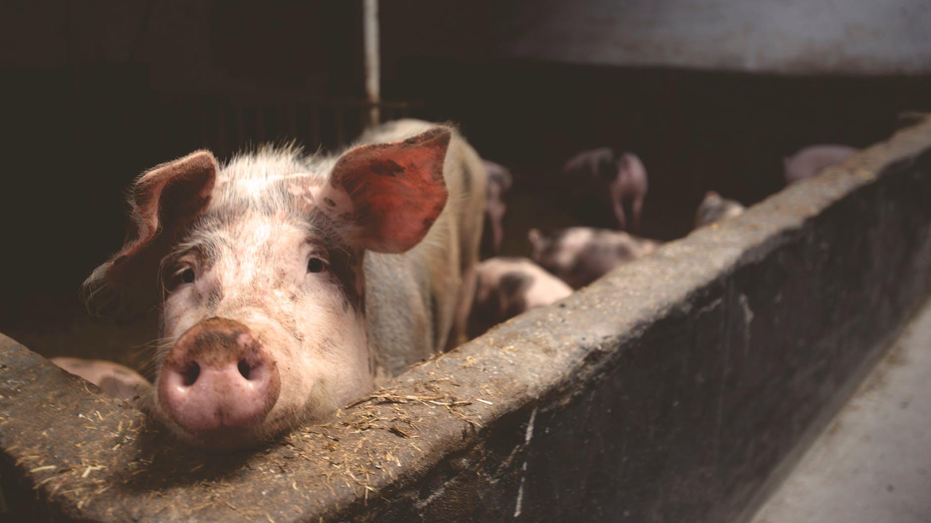 suíno na baia, epidemia de peste suína africana, suinos