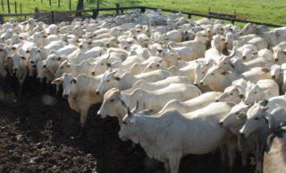 rebanho bovino, arroba do boi gordo, pecuária, boi
