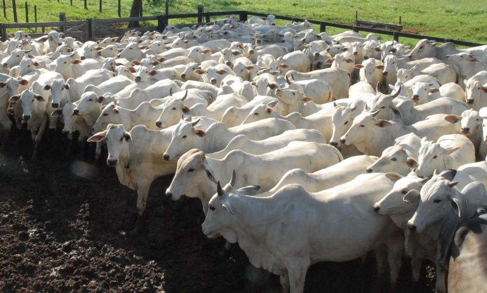 rebanho bovino, arroba do boi gordo, pecuária
