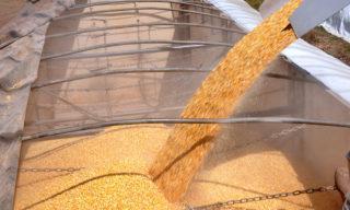 Colheita do milho, milho, grão