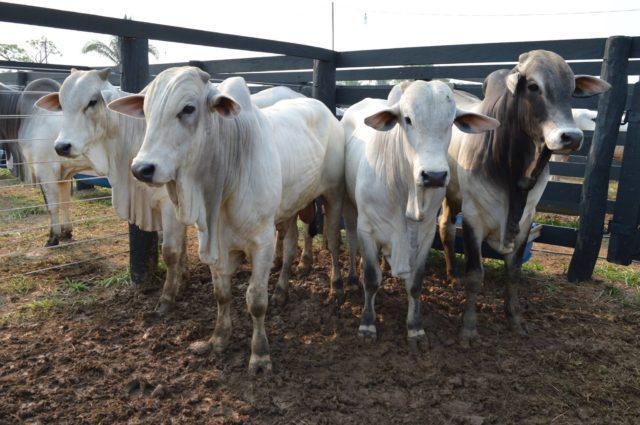 arroba do boi gordo, preços, carne bovina