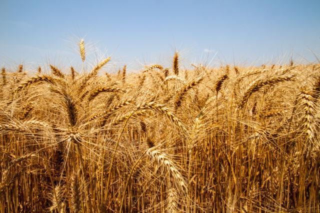 trigo lavoura cereais de inverno