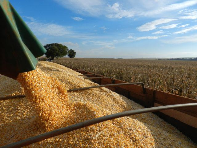Colheita de milho em lavoura