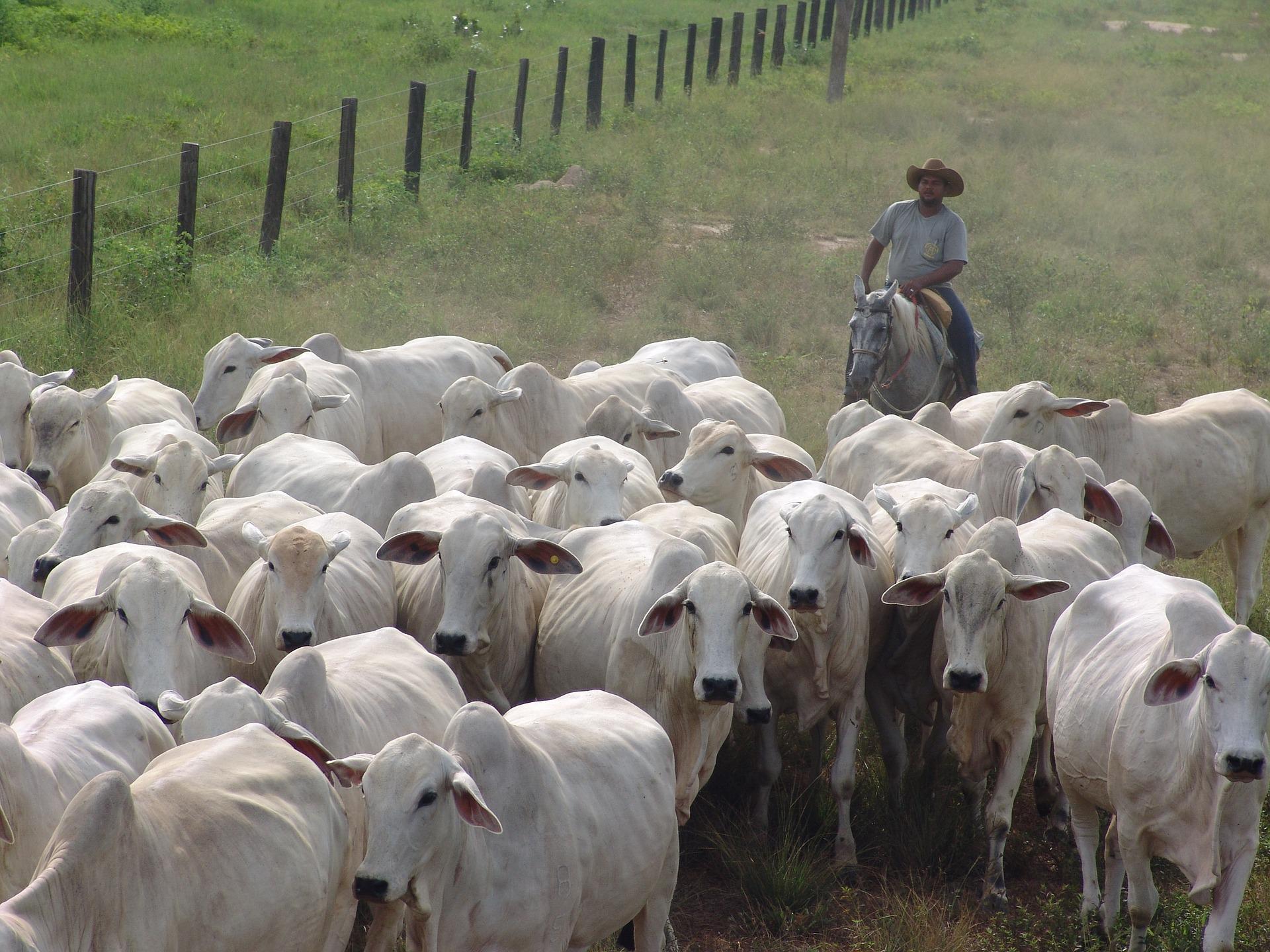 Nelore vacada vacas