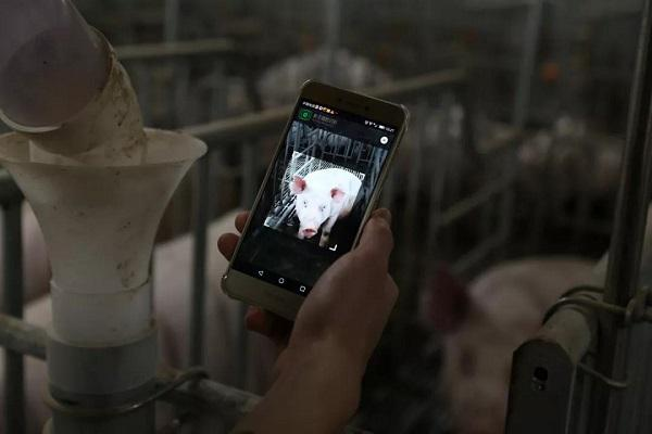 Imagem de porco em celular