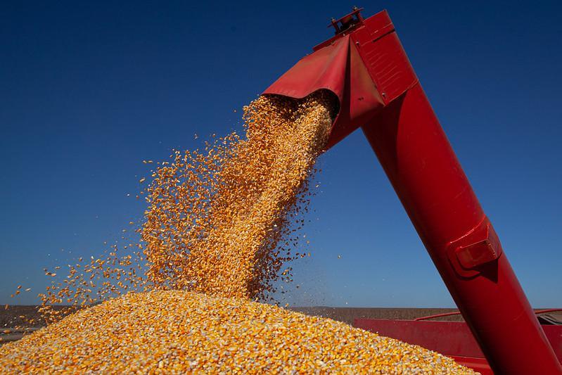 Colheita de milho para ração.