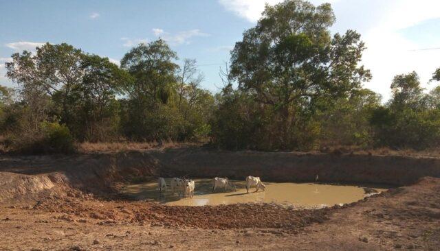 Bois bebendo água em reservatório barrento