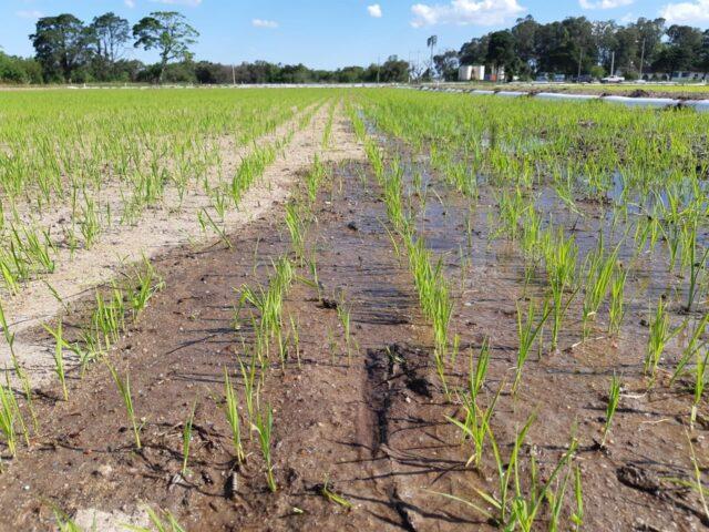 lavoura de arroz irrigado, irrigação