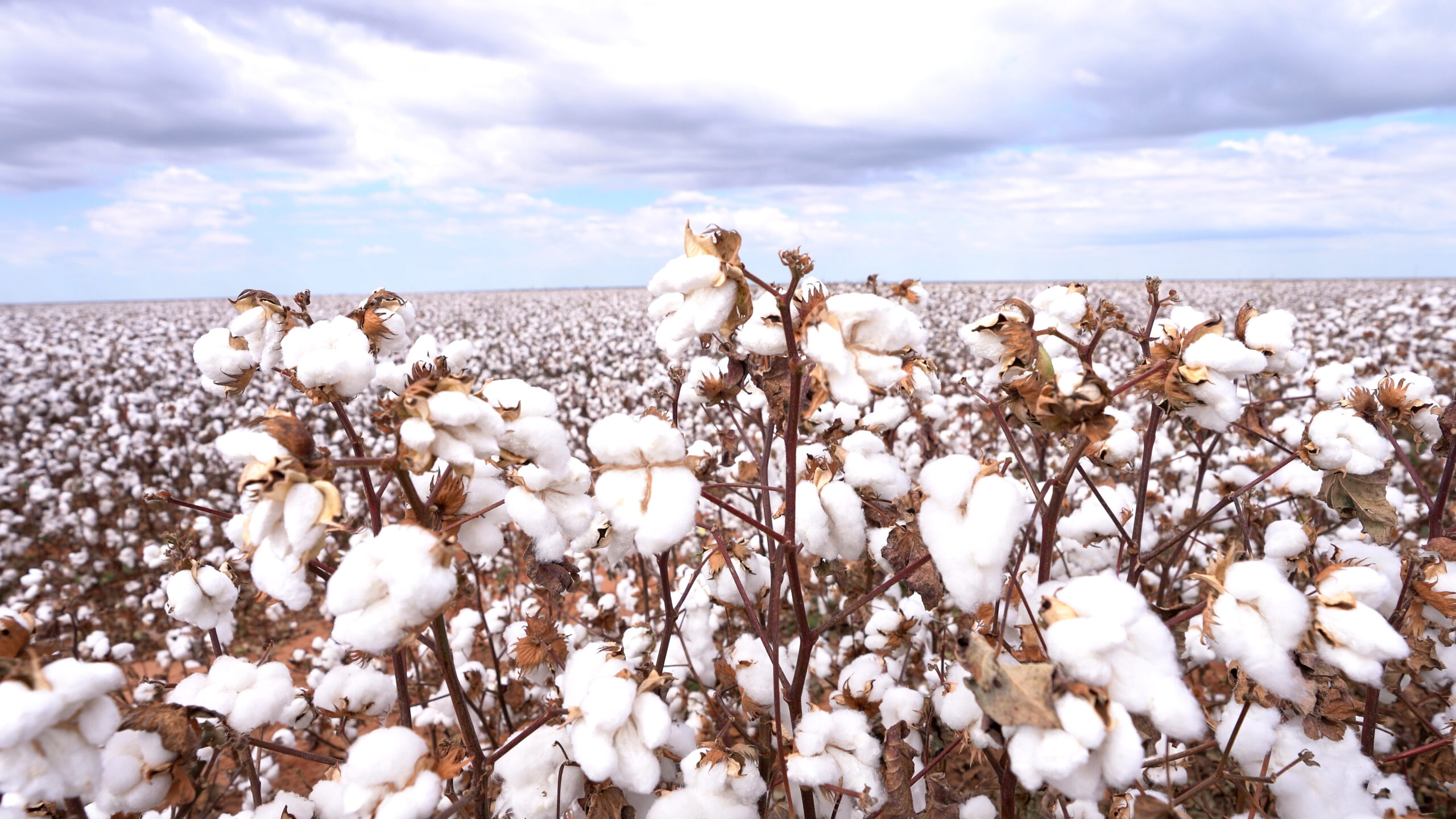 algodão bollgard bayer, biotecnologia