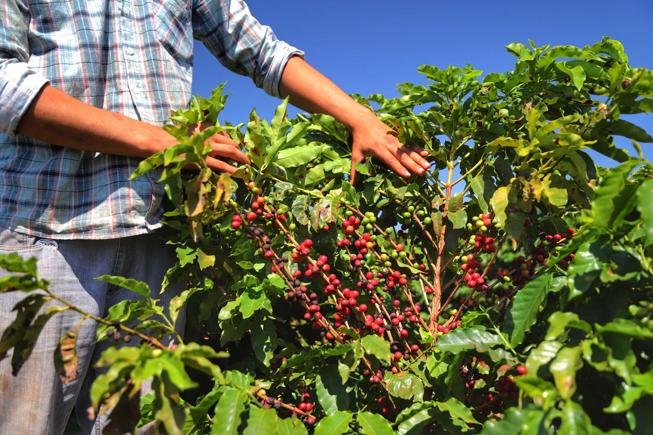 Café: clima seco e cenário internacional devem continuar sustentando preço