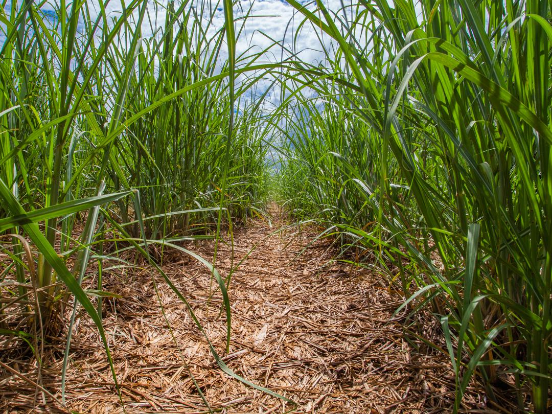 Safra de cana-de-açúcar do Brasil deve cair