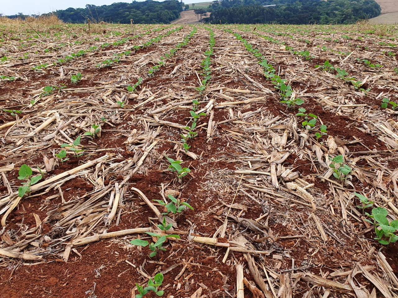 Com tempo seco, plantio de soja na área da Coopavel (PR) atinge 80%