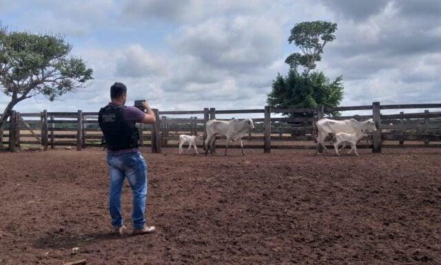 policial fotografando gado furtado de propriedade em mato grosso