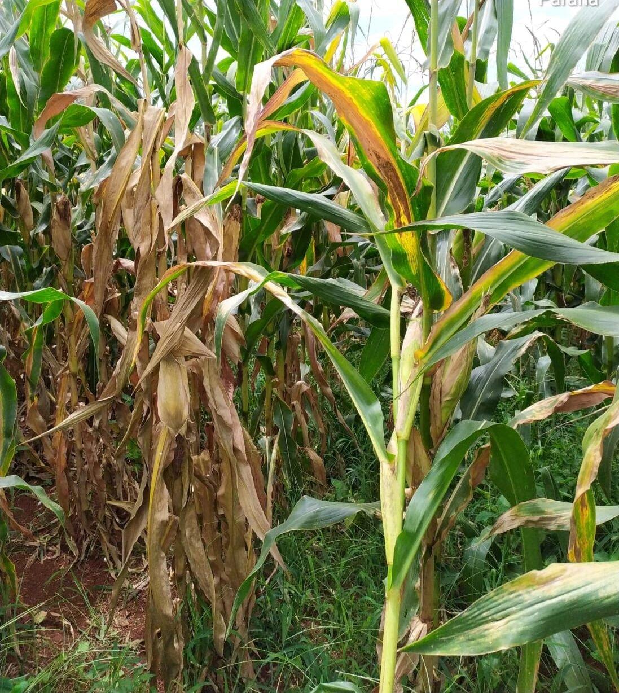 Cigarrinha do milho: setor produtivo quer reavaliação de cobertura do seguro rural