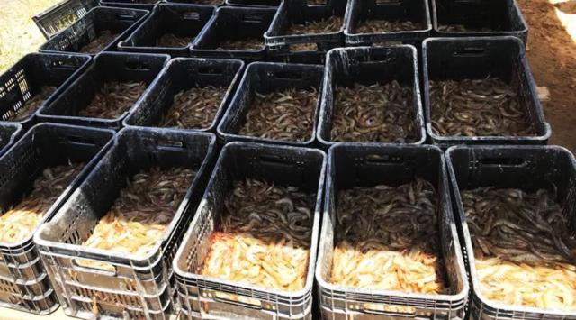 A produção de camarão vem ganhando destaque em Sergipe.
