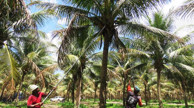 Trabalhadores recolhem o coco-da-baía - Foto: Camila Farias/Agência IBGE Notícias
