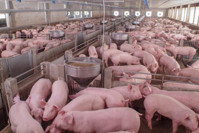 criação de suínos, embrapa, inta, granjas