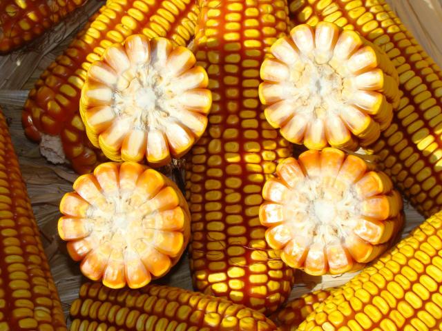 'Regras para importação de milho transgênico precisam ser revistas'