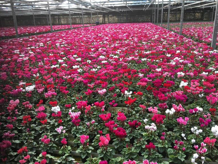 Flores: flexibilização da quarentena anima setor à vésperas do Dia das Mães
