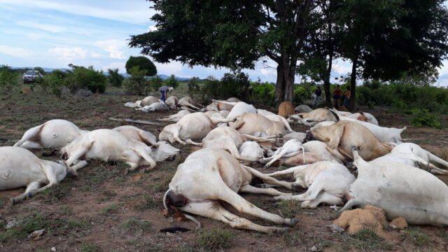 gado morto por raio