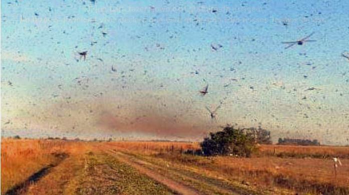 Nuvem de gafanhotos volta a se movimentar na Argentina; confira a nova localização – Canal Rural