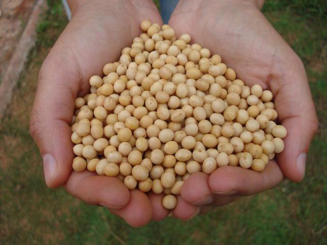 Close em mãos segurando um punhado de soja