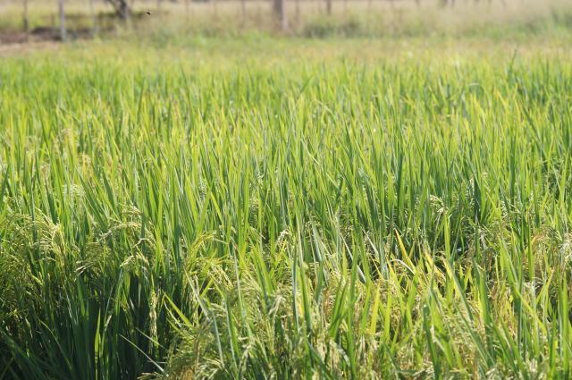 lavoura de arroz