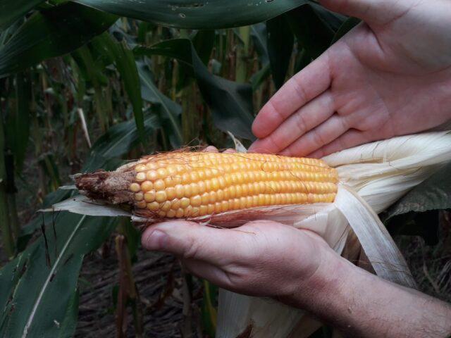 Seca provoca desenvolvimento irregular do milho