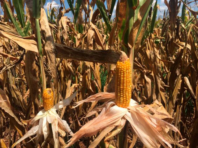 Milho: produtores do RS perdem 50 sacas por hectare com a seca, previsão do tempo
