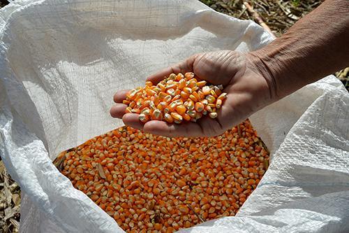 sementes milho embrapa