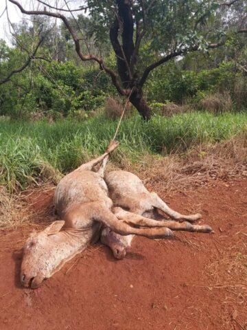 vacas mortas gado furtado